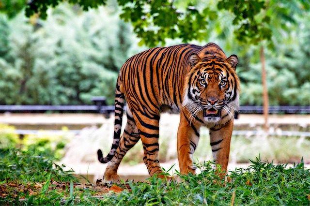 https://pixabay.com/static/uploads/photo/2014/11/06/06/44/sumatran-tiger-518771_640.jpg