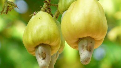 """Botto"" jumbo-sized cashew"