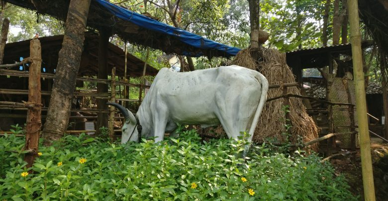 Cattle for slaughter ban