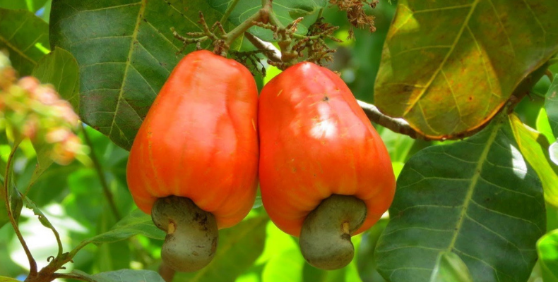 State Fruit of Goa the Cashew Apple